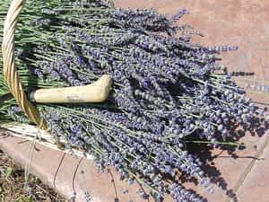 lavender_cut