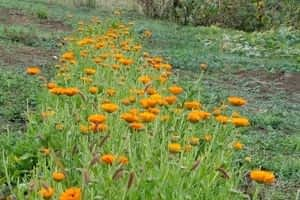 row of calendula